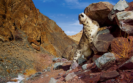 snow leopard wallpaper mac. snow leopard wallpaper 800