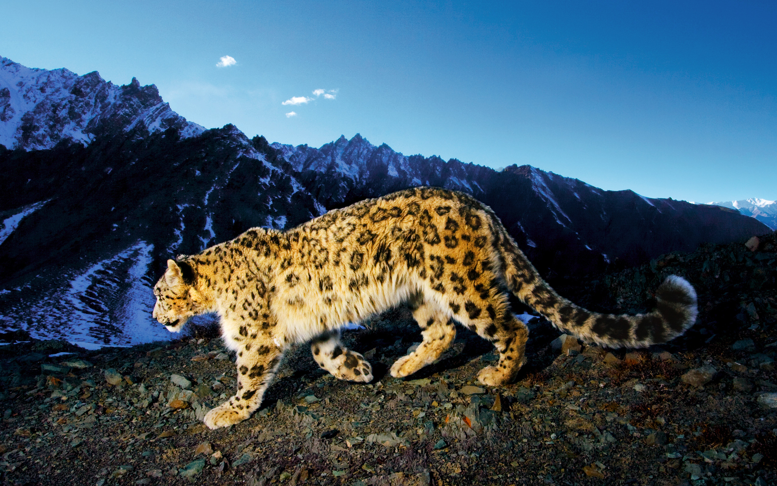 Snow Leopard � Just Perfect On