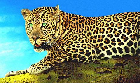 leopard big